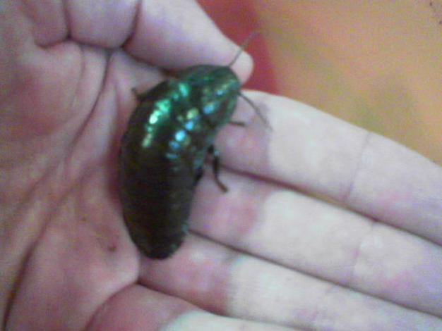 This is evidently a 'Big friendly cockroach'