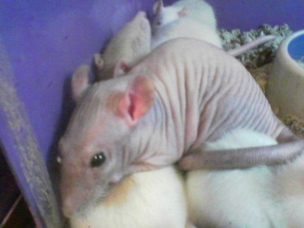 Charles said, 'What i would look like as a rat'